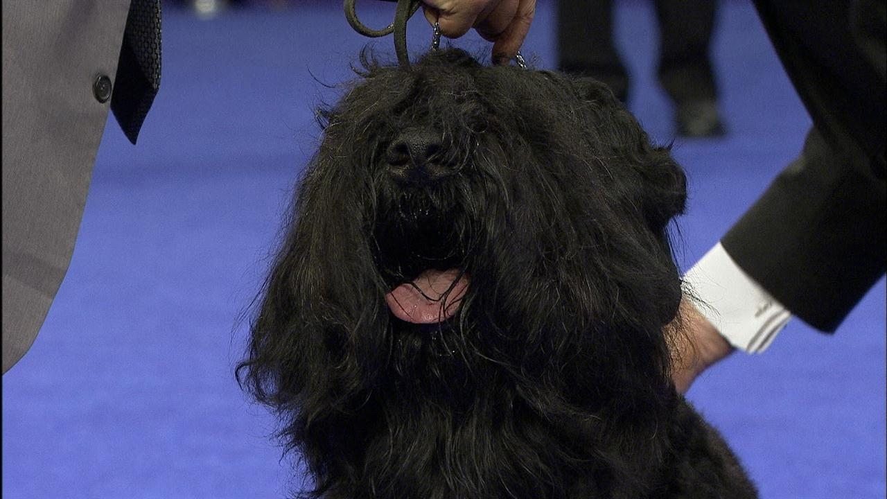Black Russian Terrier National Dog Show