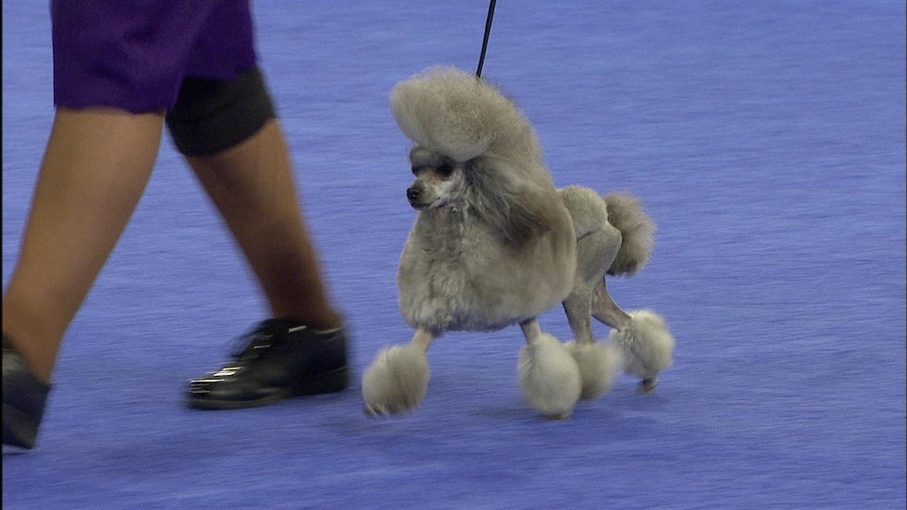 Group Toy Dogs : Toy group poodle nbc sports