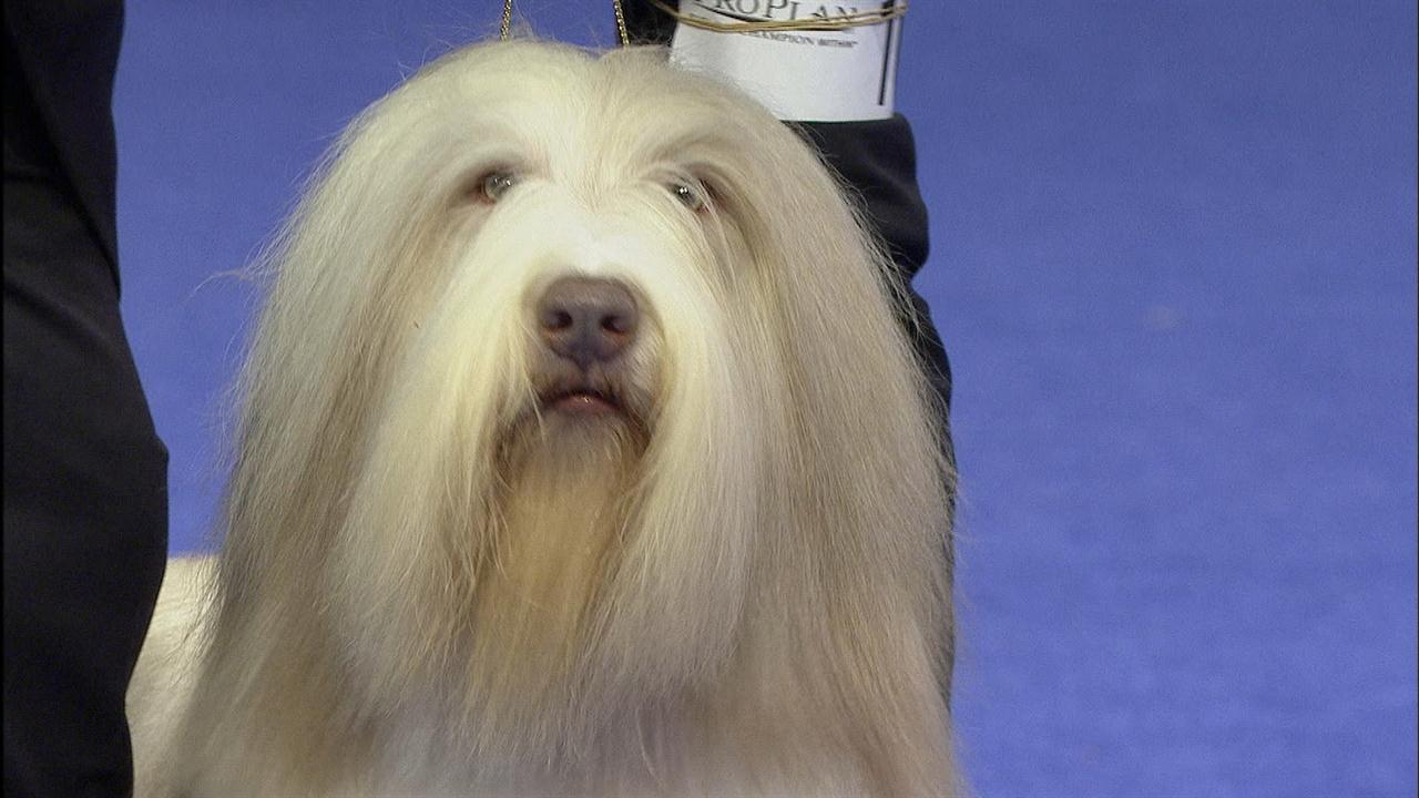 National Dog Show Bearded Collie
