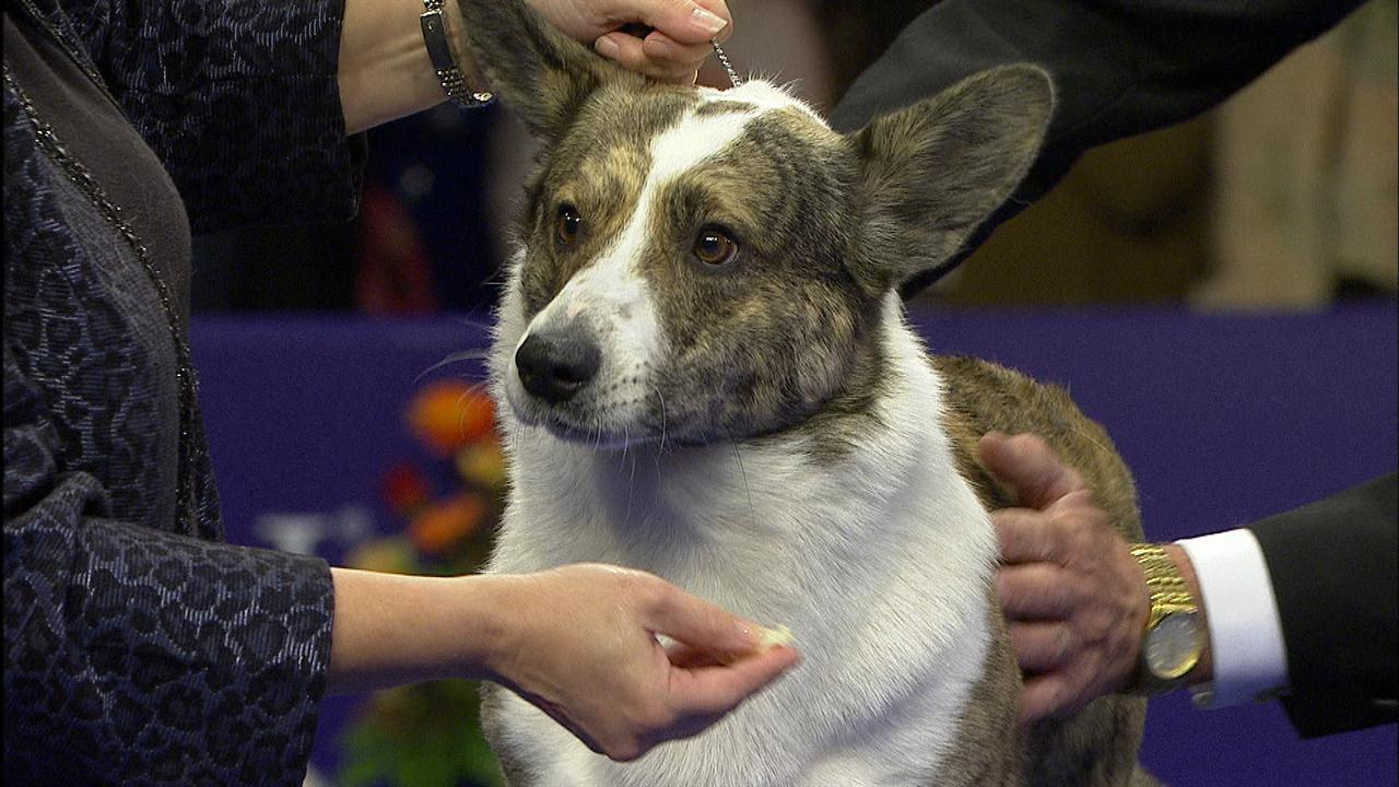 National Dog Show  Cardigan Corgi