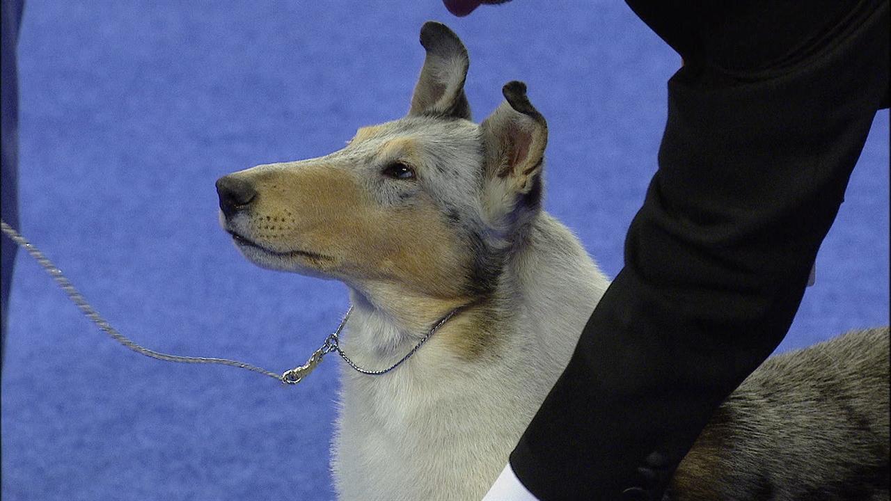 National Dog Show Smooth Collie