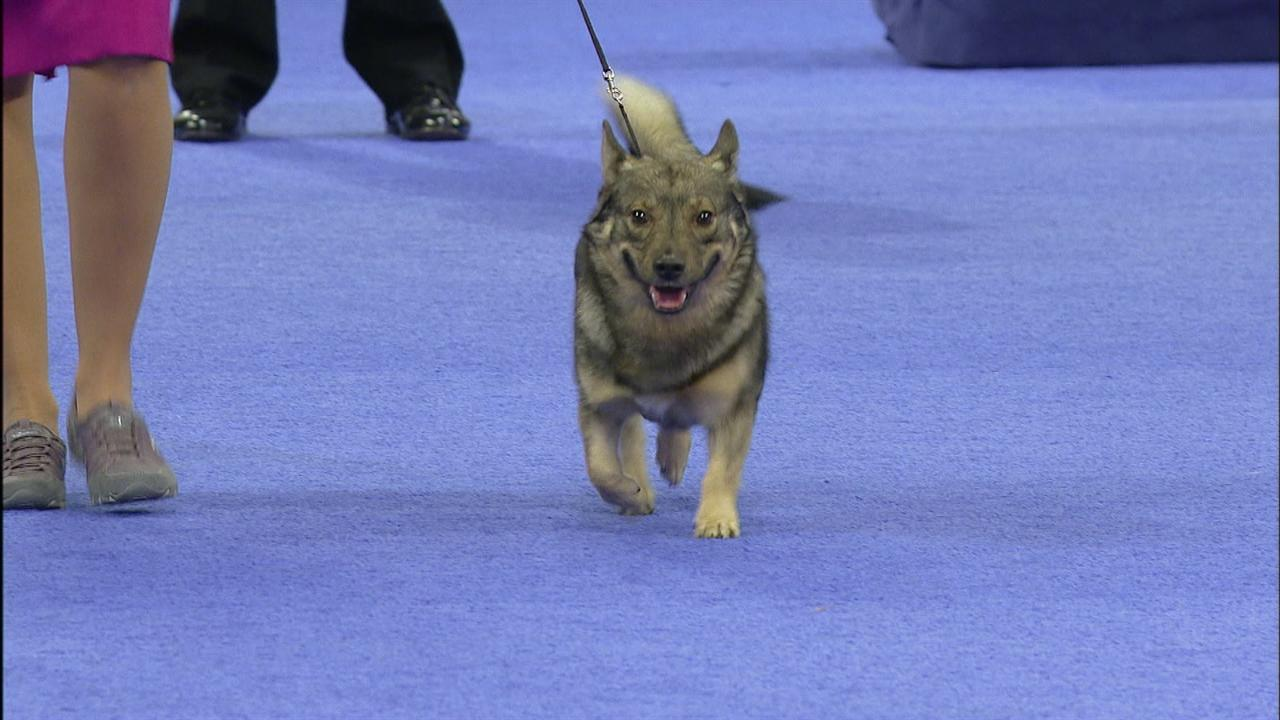 Herding Group Swedish Vallhund Nbc Sports